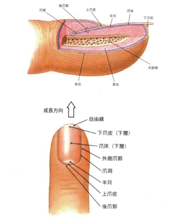 爪の構造と名称